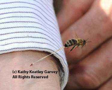 This photo of a bee sting, with its abdominal tissue trailing, is published in the Caron/Connor book. (Photo by Kathy Keatley Garvey)