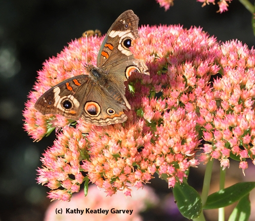 Buckeye butterfly on sedum. Note the missing chunks of its wings. (Photo by Kathy Keatley Garvey)