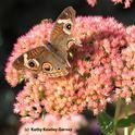 Buckeye butterfly on sedum. Note the missing chunks of its wings. (Photo by Kathy Keatley Garvey)