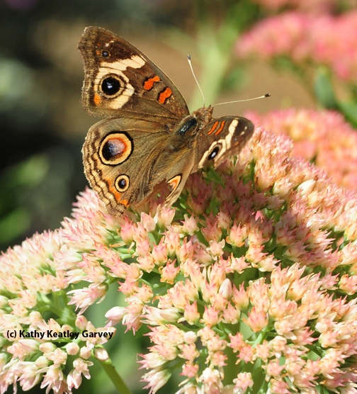 Sideview of Buckeye butterfly-almost a meal for a predator. (Photo by Kathy Keatley Garvey)