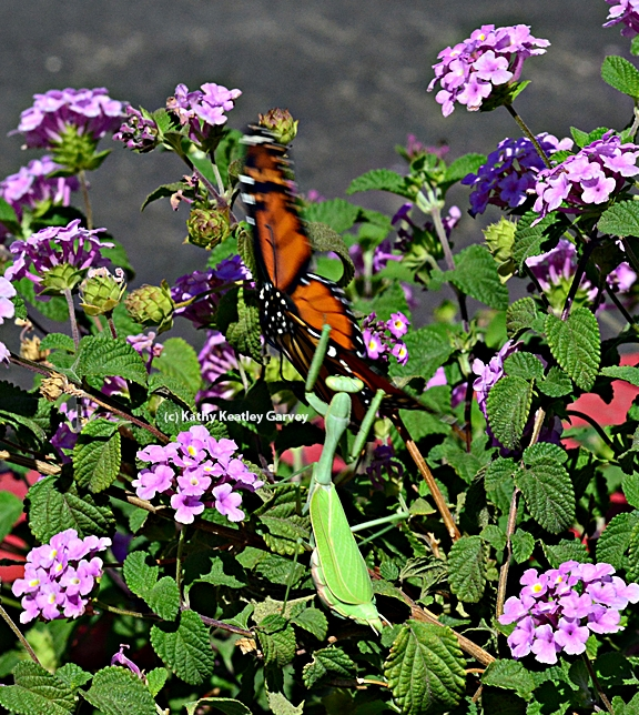 A praying mantis leaps at a fluttering butterfly. (Photo by Kathy Keatley Garvey)