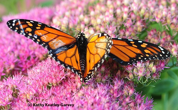 The monarch, mangled from its encounter with the praying mantis, didn't make it. (Photo by Kathy Keatley Garvey)