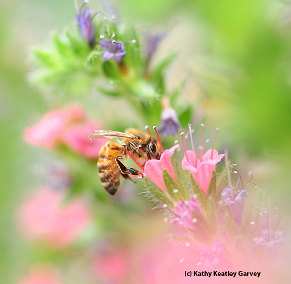 Honey bee on a tower of jewels, Echium wildpretii. (Photo by Kathy Keatley Garvey)