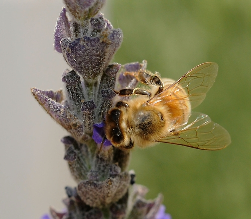 DELICATE WINGS of a honey bee look like a bridal veil as as she nectars on lavender. (Photo by Kathy Keatley Garvey)