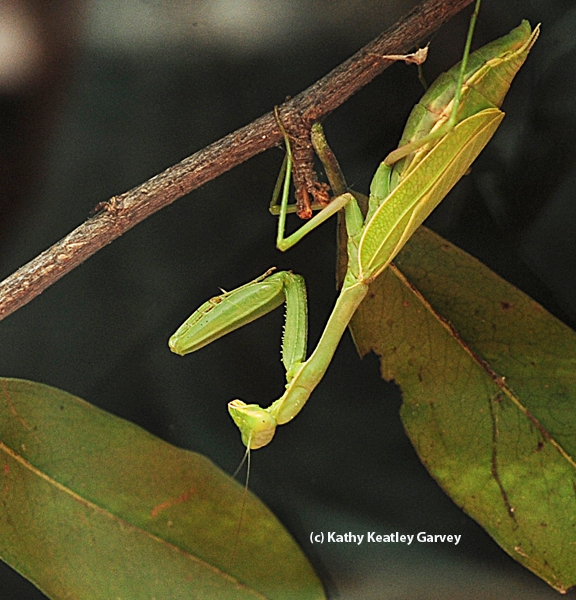 Night time for the praying mantis. (Photo by Kathy Keatley Garvey)