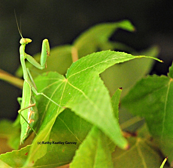The praying mantis, quite camouflaged. (Photo by Kathy Keatley Garvey)