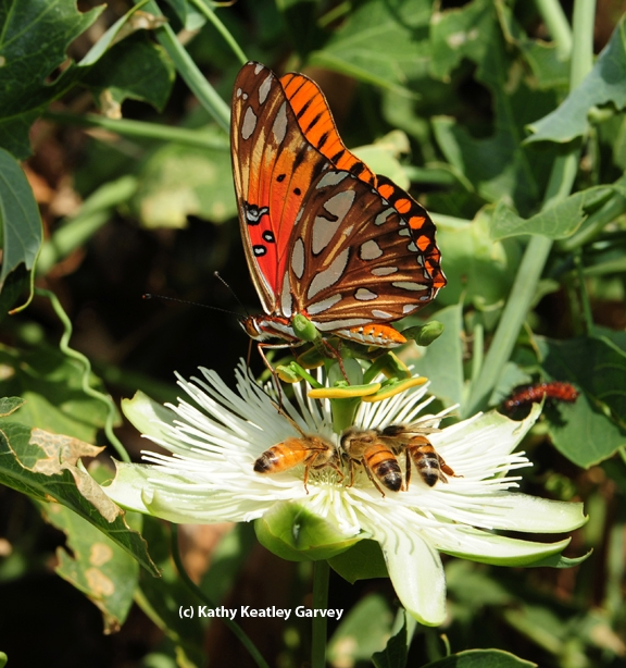 A Gulf Fritillary butterfly, Agraulis vanillae, sharing a passion flower with honey bees. (Photo by Kathy Keatley Garvey)