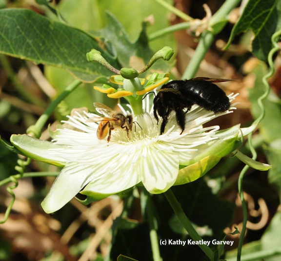 A Valley carpenter bee and a honey bees working the passion flower. (Photo by Kathy Keatley Garvey)