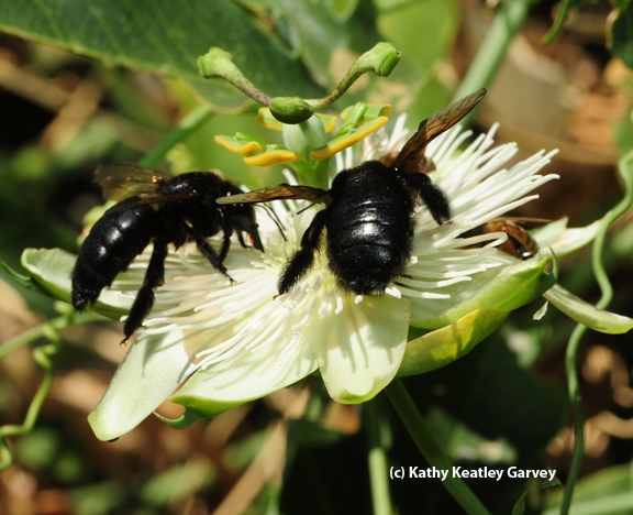 Two Valley carpenter bees on a passion flower. (Photo by Kathy Keatley Garvey)