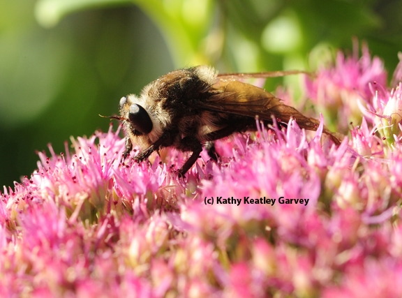 Side view of a robber fly on sedum. (Photo by Kathy Keatley Garvey)