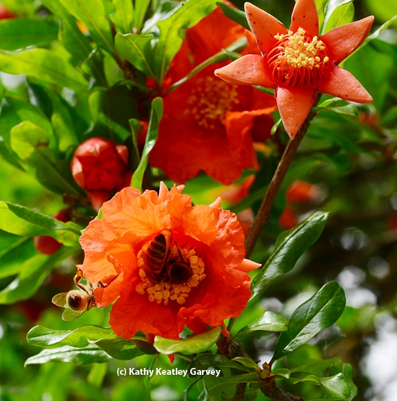 Honey bees foraging on pomegranate blossoms. (Photo by Kathy Keatley Garvey)
