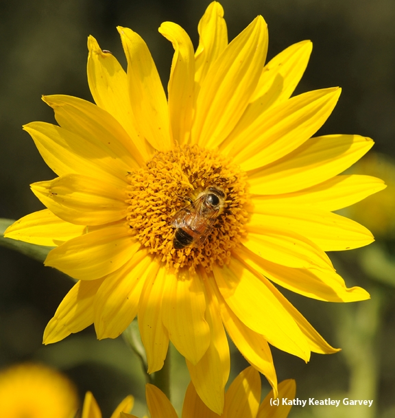A single honey bee on a sunflower. (Photo by Kathy Keatley Garvey)