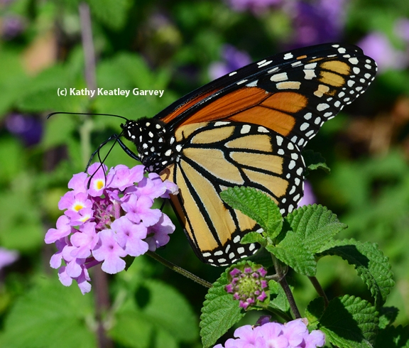 A Monarch butterfly nectaring on lantana. (Photo by Kathy Keatley Garvey)