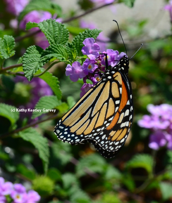 A Monarch butterfly filling up on nectar from lantana. (Photo by Kathy Keatley Garvey)