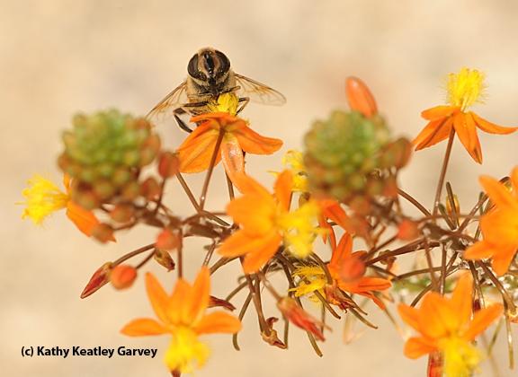 Drone fly nectaring on bulbine. (Photo by Kathy Keatley Garvey)