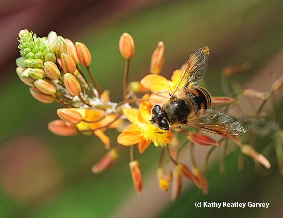 Sunlight glittering on a drone fly. (Photo by Kathy Keatley Garvey)