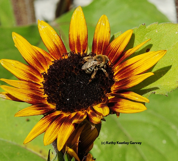Sunflower bee, Melissodes agilis, on sunflower. (Photo by Kathy Keatley Garvey)