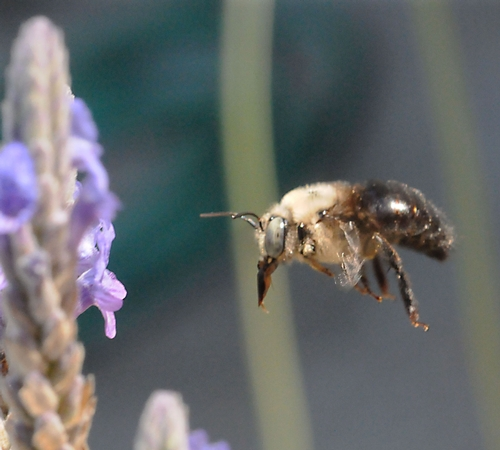 CAUGHT IN FLIGHT, a male carpenter bee heads for the lavender. (Photo by Kathy Keatley Garvey)