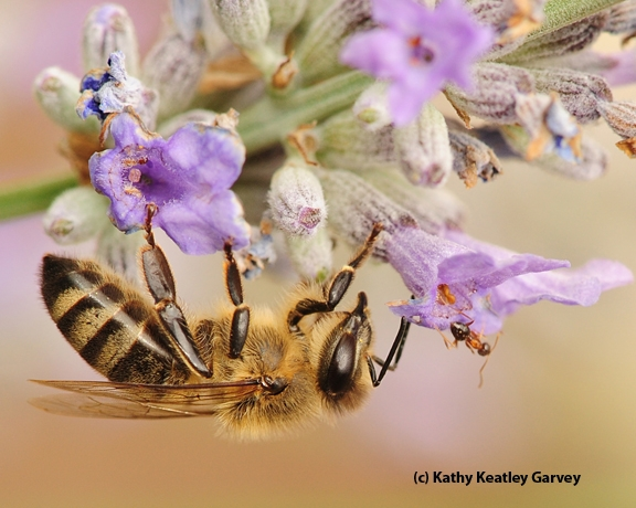 A bee and an ant; they're more closely related than they are to most wasps. (Photo by Kathy Keatley Garvey)