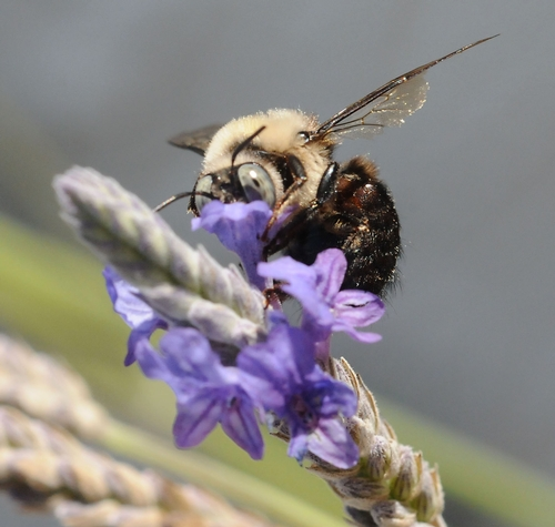 HEAD IN THE BLOSSOM, eyes alert, a carpenter bee nectars the lavender. (Photo by Kathy Keatley Garvey)
