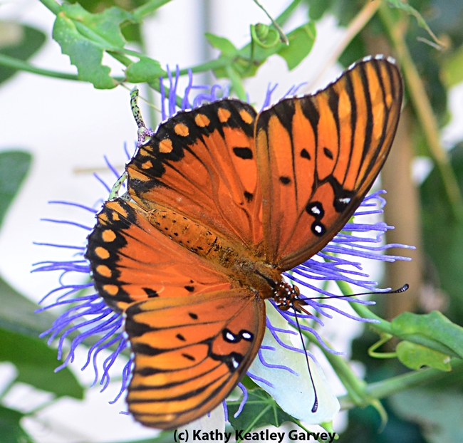 An adult Gulf Fritillary on a passion flower. (Photo by Kathy Keatley Garvey)