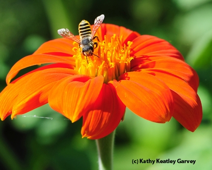 Leafcutting bee, Megachile fidelis, on Mexican sunflower, Tithonia. (Photo by Kathy Keatley Garvey)