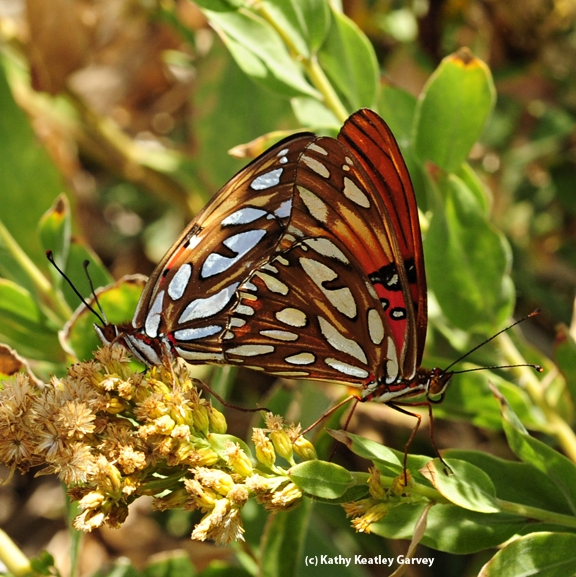 A pair of mating Gulf Fritillary butterflies on a passionflower vine. (Photo by Kathy Keatley Garvey)