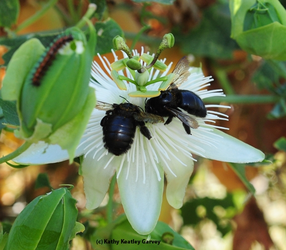 Two female Valley carpenter bees sharing a passion flower. Note the Gulf Fritillary caterpillar.(Photo by Kathy Keatley Garvey)