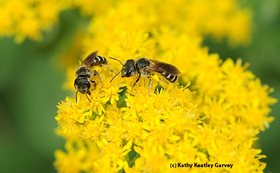 Two female sweat bees, Halictus ligatus, on a goldenrod. (Photo by Kathy Keatley Garvey)