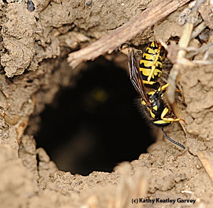 A yellowjacket entering its nest at an apiary. (Photo by Kathy Keatley Garvey)