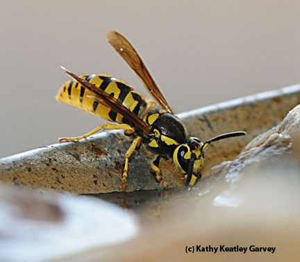 A yellowjacket sipping water at an apiary. (Photo by Kathy Keatley Garvey)