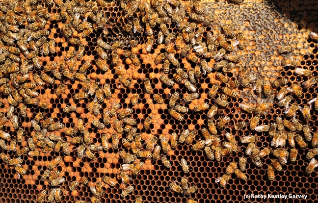 Close-up of bees at work. (Photo by Kathy Keatley Garvey)