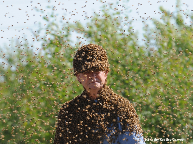 Bee wrangler Norm Gary surrounded by bees. (Photo by Kathy Keatley Garvey)