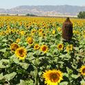 Norm Gary's bee cluster in the middle of a sunflower field in Winters. (Photo by Kathy Keatley Garvey)