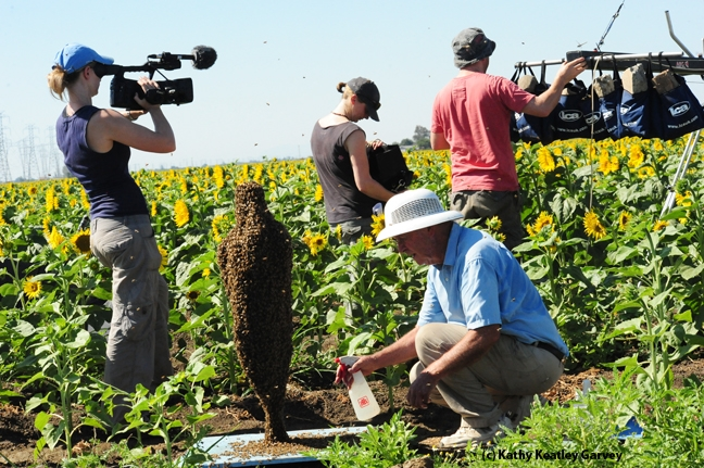 BBC crew sets up in a Winters' sunflower field, as Norm Gary sprays sugar water on his bee cluster. (Photo by Kathy Keatley Garvey)
