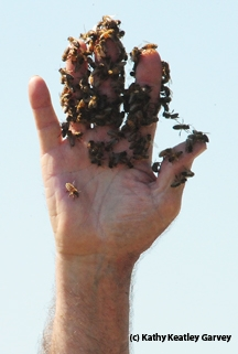 A handful of bees, displayed by George McGavin. (Photo by Kathy Keatley Garvey)