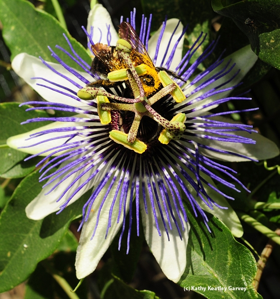 Valley carpenter bee foraging on a passion flower. (Photo by Kathy Keatley Garvey)