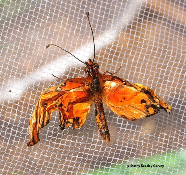 A crippled Gulf Fritillary butterfly. (Photo by Kathy Keatley Garvey)