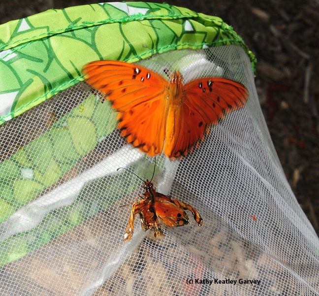 A possible mate checks out the crippled butterfly. (Photo by Kathy Keatley Garvey)