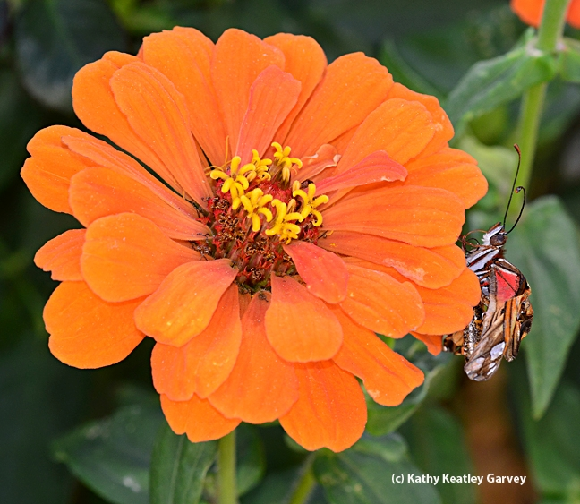 We placed the crippled Gulf Fritillary on a zinnia. (Photo by Kathy Keatley Garvey)
