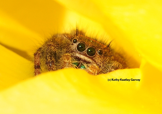 Jumping spider peering between the petals of a yellow rose. (Photo by Kathy Keatley Garvey)