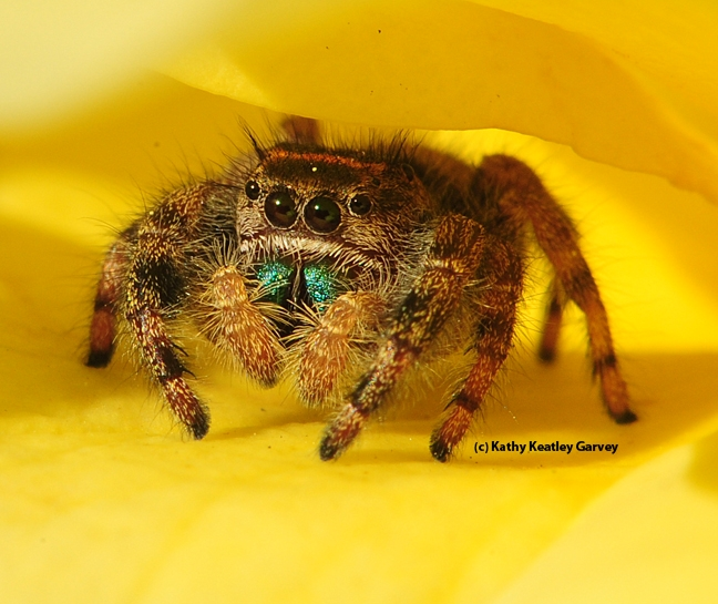 Close-up of jumping spider as it emerges from its hiding place. (Photo by Kathy Keatley Garvey)