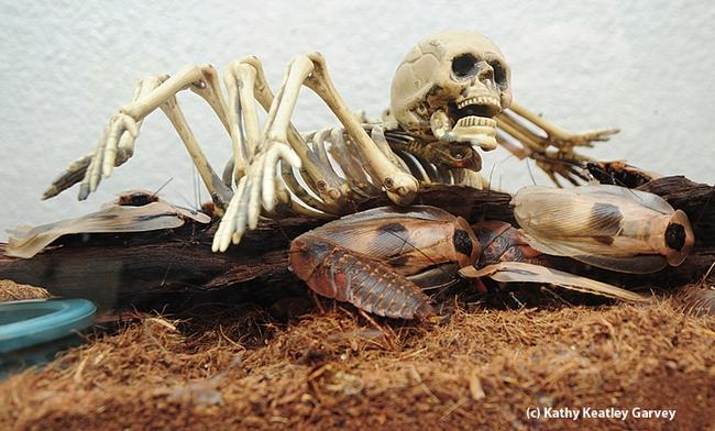 Skull shares the habitat of the giant cave cockroah (Blaberus gigante). (Photo by Kathy Keatley Garvey)