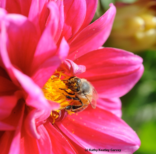 This photo of a bee foraging on a zinnia, taken in the Haagen-Dazs Honey Bee Haven, graces the front and back covers of
