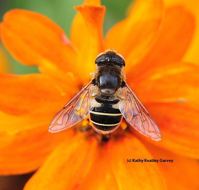 Hover fly, Eristalis hirta, on zinnia. (Photo by Kathy Keatley Garvey)