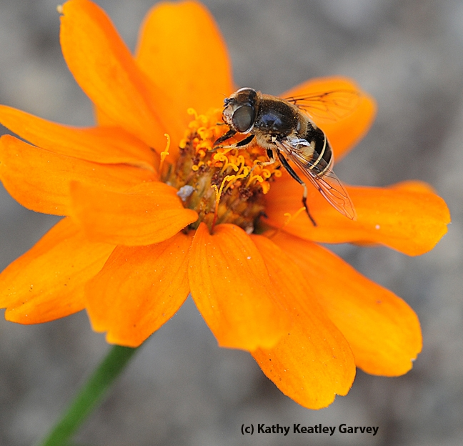 Side view of Hover fly, Eristalis hirta, on zinnia. (Photo by Kathy Keatley Garvey)