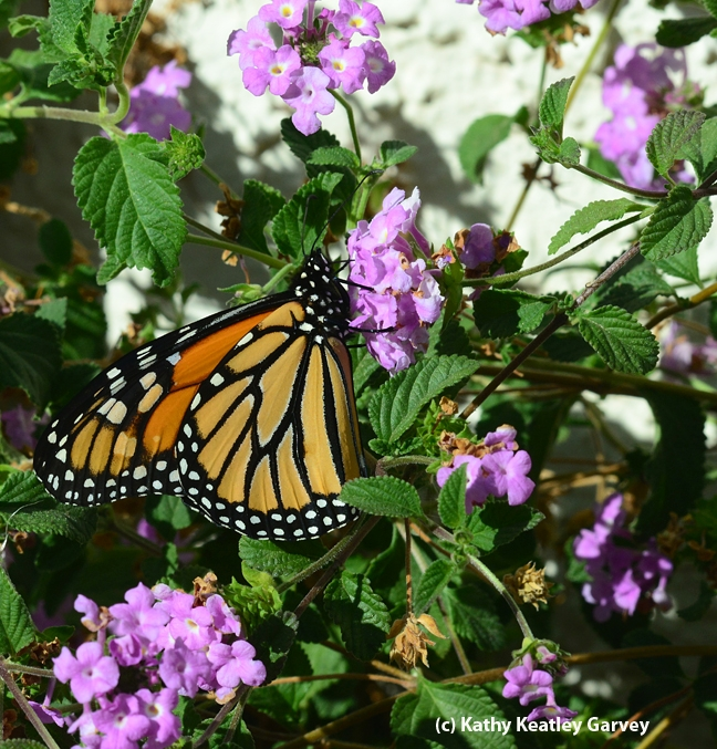 A monarch butterfly on lantana last week in Vacaville, Calif. (Photo by Kathy Keatley Garvey)