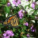 A monarch butterfly on lantana last week in Vacaville, Calif. (Photo by Kathy Keatley Garvey)
