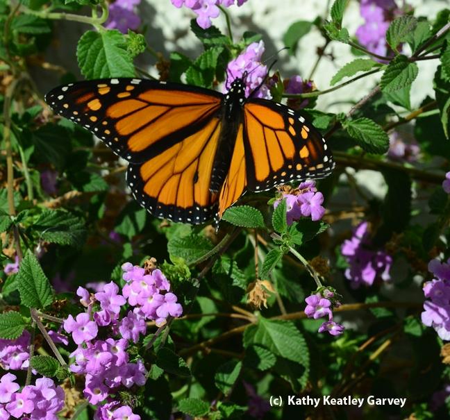 Monarch taking flight. (Photo by Kathy Keatley Garvey)