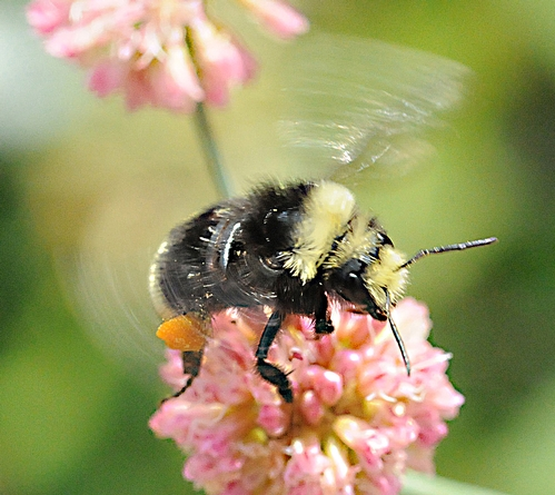 Pollen-Packing Bumble Bee